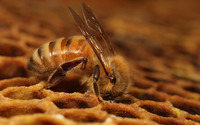 Honeybee wallpaper 1920x1200 jpg
