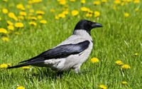 Hooded crow wallpaper 1920x1200 jpg