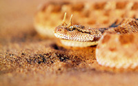 Horned viper wallpaper 1920x1200 jpg