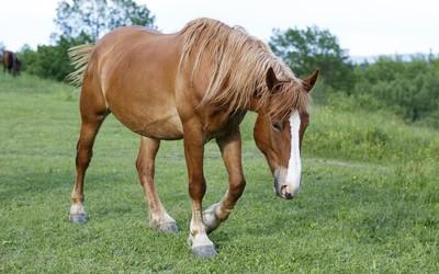Horse [14] wallpaper