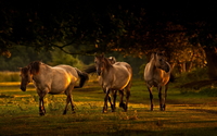 Horses [11] wallpaper 1920x1200 jpg