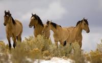 Horses [8] wallpaper 2560x1600 jpg