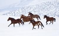 Horses [4] wallpaper 1920x1200 jpg