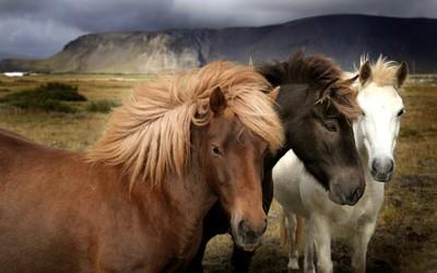 Horses [3] wallpaper