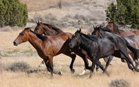 Horses running wallpaper 1920x1200 jpg