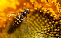 Hoverfly [4] wallpaper 2560x1600 jpg