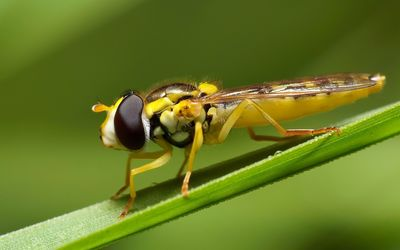 Hoverfly wallpaper
