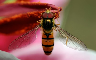 Hoverfly [2] wallpaper