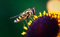 Hoverfly on a sunflower wallpaper 1920x1080 jpg