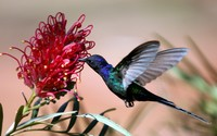 Hummingbird wallpaper 1920x1200 jpg