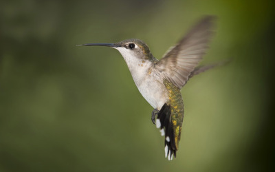 Hummingbird [9] wallpaper