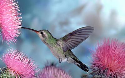 Hummingbird [5] wallpaper