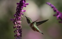 Hummingbird [3] wallpaper 1920x1200 jpg