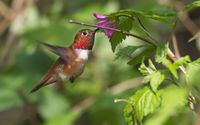 Hummingbird at the flower wallpaper 1920x1200 jpg