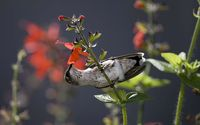 Hummingbird hanging from a red flower wallpaper 2560x1600 jpg