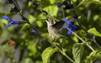Hummingbird on a purple flower wallpaper 2560x1440 jpg