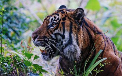 Hungry tiger wallpaper