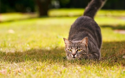 Hunting cat wallpaper