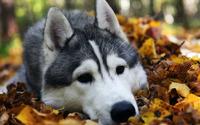 Husky [4] wallpaper 1920x1200 jpg