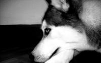 Husky [3] wallpaper 1920x1200 jpg