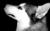 Husky wallpaper 1920x1200 jpg