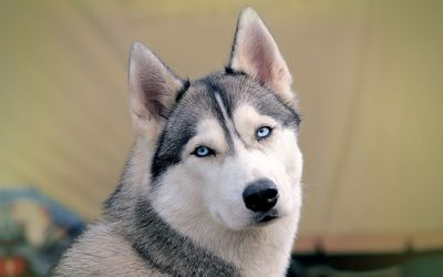 Husky gazing with its beautiful blue eyes wallpaper
