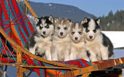 Husky puppies wallpaper