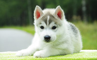 Husky puppy wallpaper 1920x1200 jpg