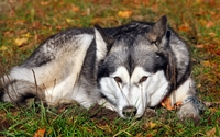 Husky resting in the grass wallpaper 2560x1600 jpg