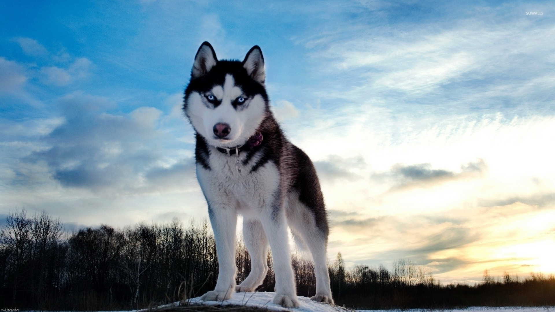 Husky with beautiful blue eyes at sunset wallpaper ...