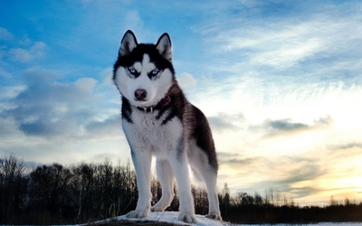 Husky with beautiful blue eyes at sunset wallpaper
