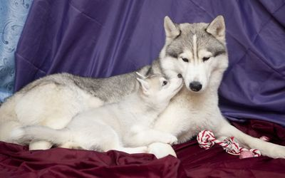 Husky with its puppy wallpaper