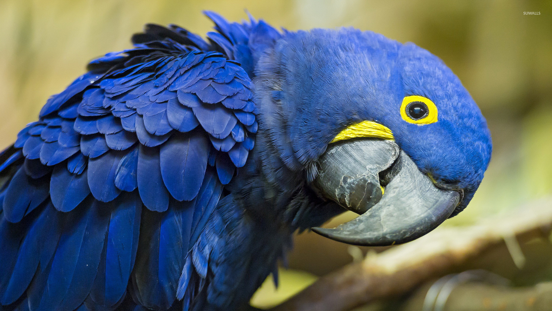 Hyacinth macaw wallpaper