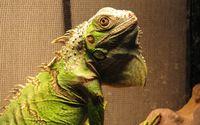 Iguana wallpaper 2560x1600 jpg
