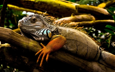 Iguana on a branch wallpaper