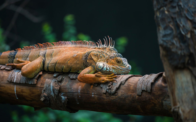 Iguana on a tree log wallpaper