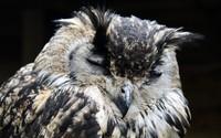 Indian Eagle-Owl wallpaper 2880x1800 jpg