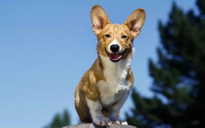 Jack Russell Terrier [2] wallpaper