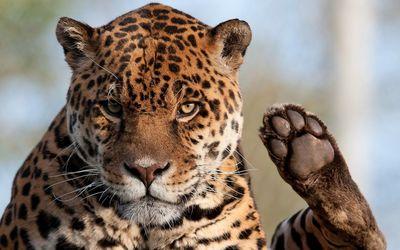 Jaguar [6] wallpaper
