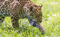 Jaguar hunting wallpaper 2560x1600 jpg