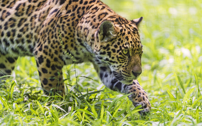 Jaguar hunting wallpaper
