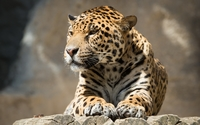 Jaguar resting on tree logs wallpaper 2560x1600 jpg
