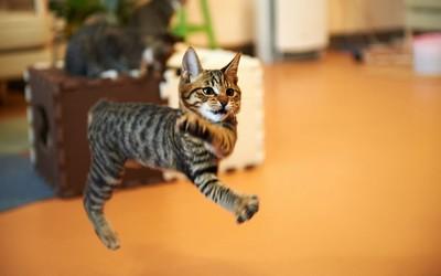 Jumping cat wallpaper