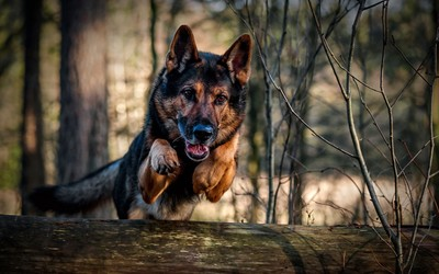 Jumping german shepherd wallpaper