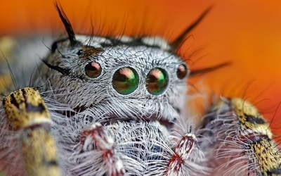 Jumping spider wallpaper