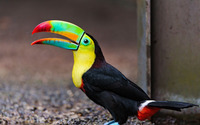 Keel-billed toucan wallpaper 2560x1600 jpg