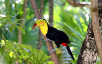 Keel billed Toucan wallpaper 2560x1600 jpg