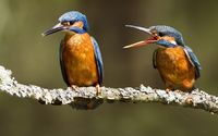 Kingfishers wallpaper 1920x1200 jpg