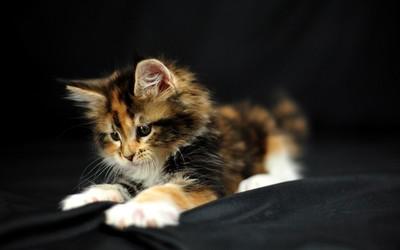 Kitten [5] wallpaper