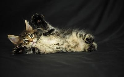 Kitten [6] wallpaper